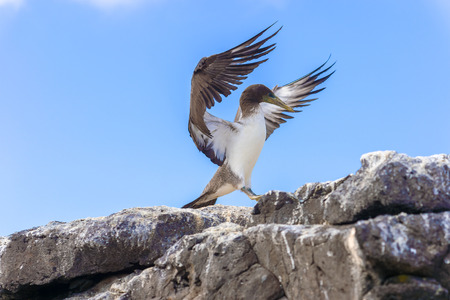 juveniles: Juvenile Nazca Booby trying to fly from the lava rock in Espanola Island, Galapagos. Stock Photo