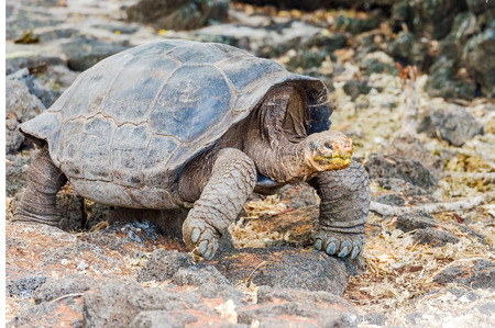 Giant turtle from Santa Cruz Island. Galapagos turtle is the largest living species of tortoise, reaching weights of over 400 kilograms, lengths of 1.8 meters and live up to 150 years. Stock Photo