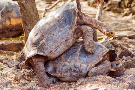 Giant turtles mating on Santa Cruz Island. Galapagos turtle is the largest living species of tortoise, reaching weights of over 400 kilograms, lengths of 1.8 meters and live up to 150 years.