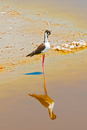 Black necked stilt, in the pond on Santa Cruz island from Galapagos. Stock Photo