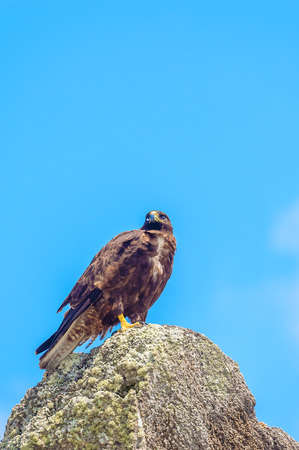 galapagos: Galapagos hawk in Espanola Island Stock Photo
