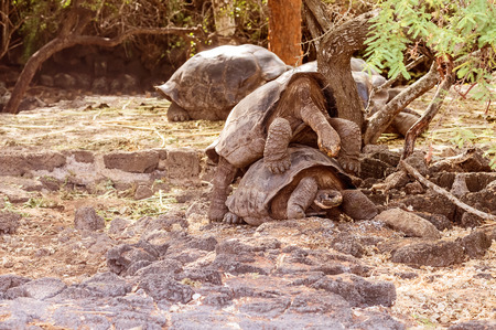 kilograms: Giant turtles mating on Santa Cruz Island. Galapagos turtle is the largest living species of tortoise, reaching weights of over 400 kilograms, lengths of 1.8 meters and live up to 150 years.