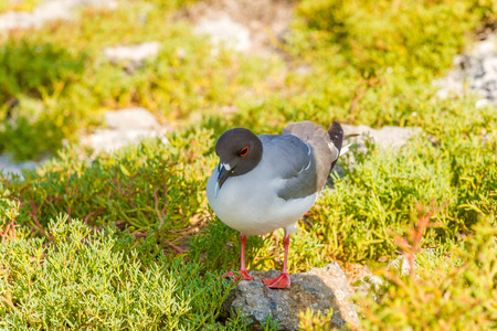 Swallow tailed gull on Isla Plaza Sur, Galapagos, Ecuador Stock Photo