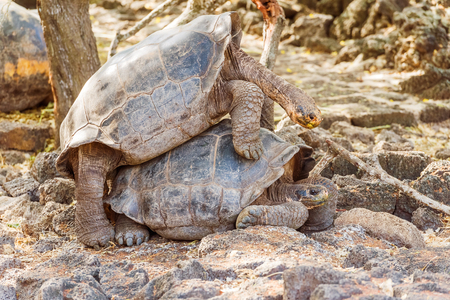 species living: Giant turtles mating on Santa Cruz Island. Galapagos turtle is the largest living species of tortoise, reaching weights of over 400 kilograms, lengths of 1.8 meters and live up to 150 years.