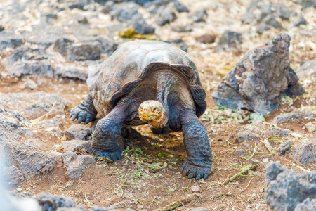 species living: Giant turtle from Santa Cruz Island. Galapagos turtle is the largest living species of tortoise, reaching weights of over 400 kilograms, lengths of 1.8 meters and live up to 150 years. Stock Photo