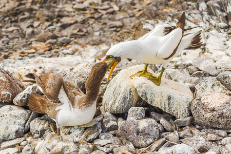 Nazca Booby on lava rock in Espanola Island, Galapagos feeding juvenile. Stock Photo