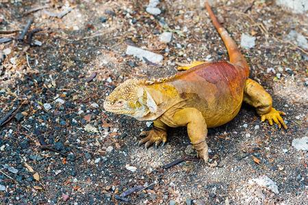 galapagos: Land Iguana on Santa Cruz Island in the Galapagos Ecuador Stock Photo