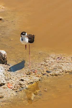 necked: Black necked stilt, in the pond on Santa Cruz island from Galapagos. Stock Photo