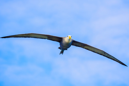 Waved albatross in full wing spread flying above Espanola island in Suarez Point.