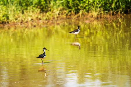 black winged stilt: Black necked stilt, in the pond on Santa Cruz island from Galapagos. Stock Photo