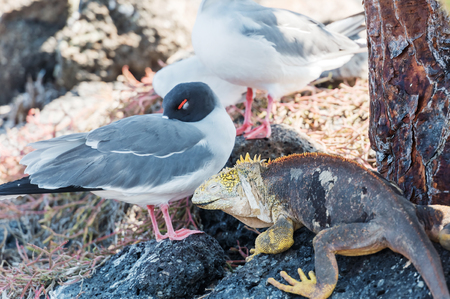 Swallow tailed gull with iguana on Isla Plaza Sur, Galapagos, Ecuador Stock Photo