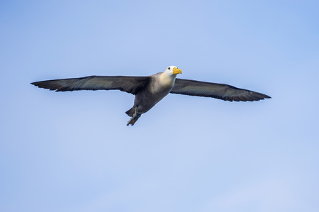 waved: Waved albatross in full wing spread flying above Espanola island in Suarez Point.