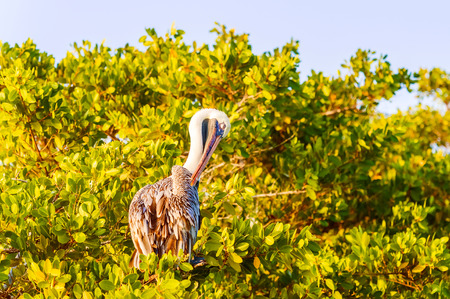 santa cruz: Brown Pelican (Pelecanus occidentalis urinator) on the tree in Santa Cruz island of Galapagos.