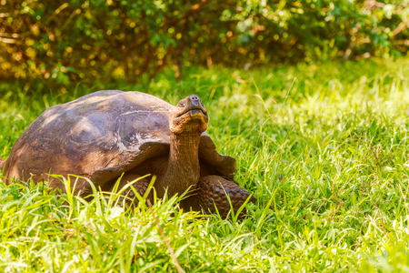 species living: Giant turtle in the highlands of Santa Cruz island. Galapagos turtle is the largest living species of tortoise, reaching weights of over 400 kilograms, lengths of 1.8 meters and live up to 150 years.