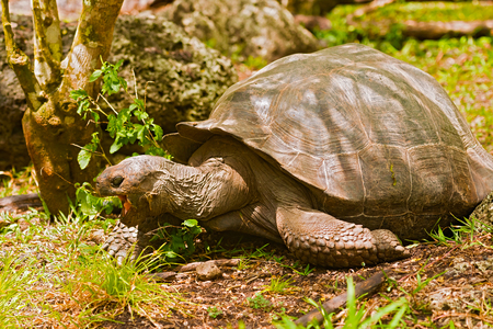 kilograms: Giant turtle Florena Island. Galapagos turtle is the largest living species of tortoise, reaching weights of over 400 kilograms, lengths of 1.8 meters and live up to 150 years. Stock Photo