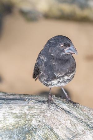 santa cruz: Ground Finch bird (Geospiza fortis), sitting on the lava rock in Santa Cruz Island, Galapagos. Stock Photo