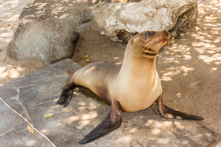 sea lion: Sea Lion on thebeach on Isabela island  in Galapagos Stock Photo
