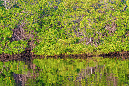 santa cruz: Trees reflection in lagoon all along the waters edge on Santa Cruz Island, Galapagos. Stock Photo