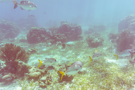 Underwater world when diving at the reef near Caye Caulker in Belize. It is a small island near Ambergris Caye. The island is very popular with divers because of its close proximity to the Belize Barrier Reef.