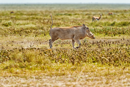 Warthog の Phacochoerus africanus はタンザニアのセレンゲティ国立公園にあります。