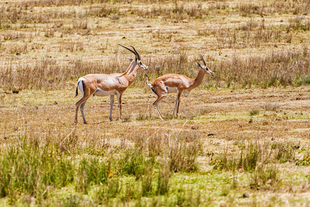 Male and female wild Impala antelope in Serengeti National Park in Tanzania