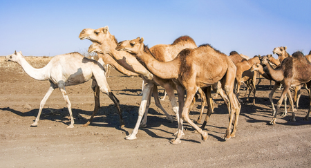 Herd of camels are crossing the road near El Hawata in Sudan. Stock Photo