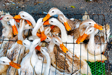 The ducks in the cage are travelling to the market in Vietnam
