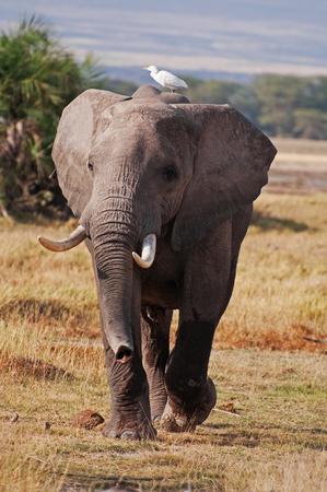 An elephant on the Masai Mara in Kenya