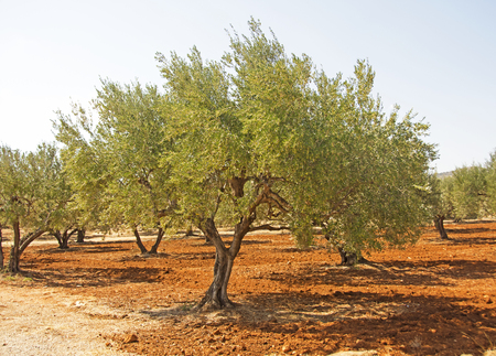 Greek Olive Tree 스톡 콘텐츠
