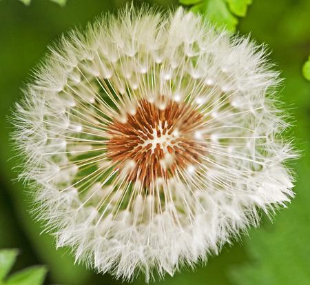 Closeup of a Dandelion Фото со стока