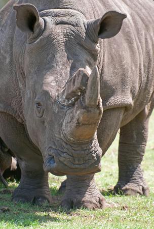 Closeup of a Rhino Фото со стока