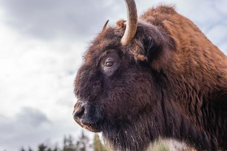 big head: Buffalo