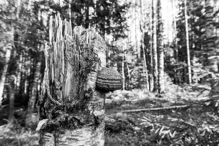森で倒れた木の幹にある多孔菌キノコ。黒と白を基調に 写真素材