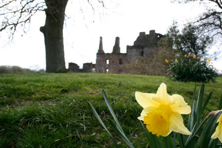 dumfries and galloway: Photo of a daffodil with Caerlaverock castle (Dumfries and Galloway Scotland) in the background.