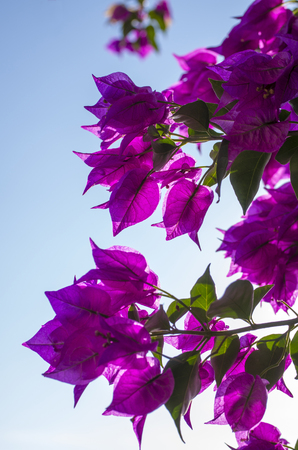 color bougainvillea: Bougainvillea flowers in bright purple and green Stock Photo