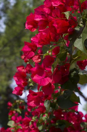 color bougainvillea: Bougainvillea flowers in bright red and green Stock Photo