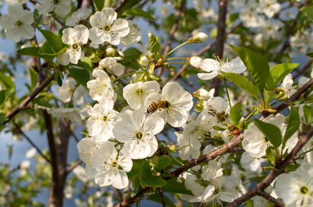 Blooming branch of sour cherry tree in spring. Stock Photo