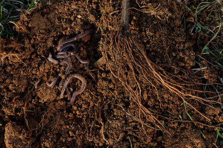 Roots of tree and worms on soil. Stock Photo
