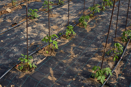 Vegetable garden with plastic sheet covered the ground.