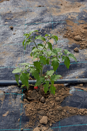 Tomato plant with plastic sheet covered the ground on vegetable garden. Stock fotó