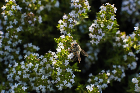 Bee on thyme flower.