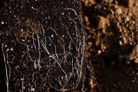 Young roots of a plant.