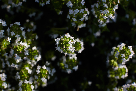 Thyme plant full of blossom.