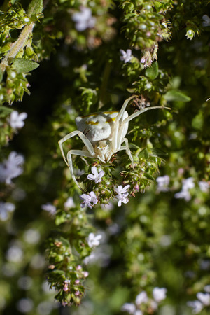 White spider on thyme flowers. Stock fotó