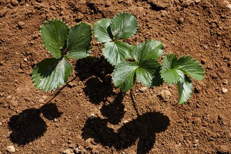Strawberry plant on soil. Stock fotó