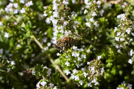 Bee on thyme flowers.