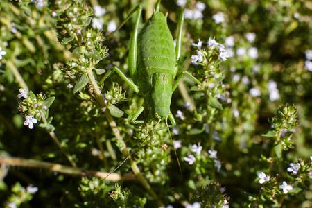 Green grasshopper on thyme flowers.