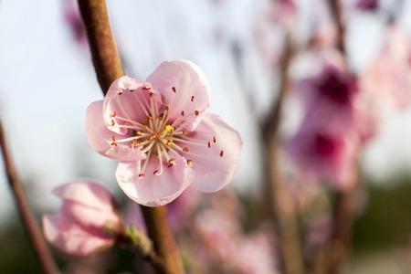 Closeup view of peach tree blossom.