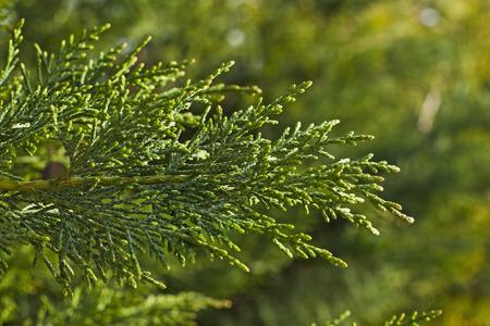 Closeup view of cypress leaves. Stock fotó
