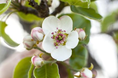 Closeup view of apple tree blossom. Stock fotó